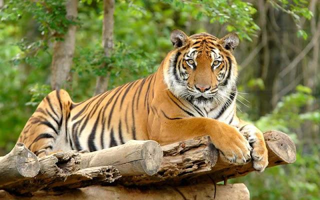 9 Fakta Menarik Tentang Harimau yang Tidak Anda Ketahui