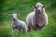 If Sheep Could Only Talk