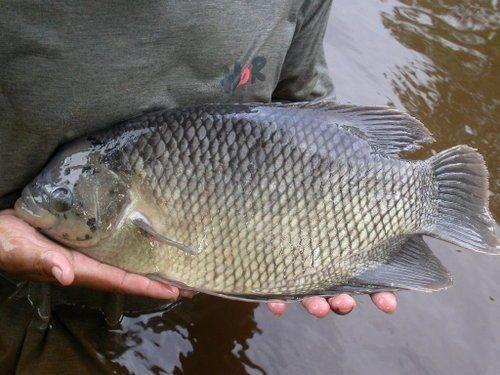 Jenis ikan Gurame BATU