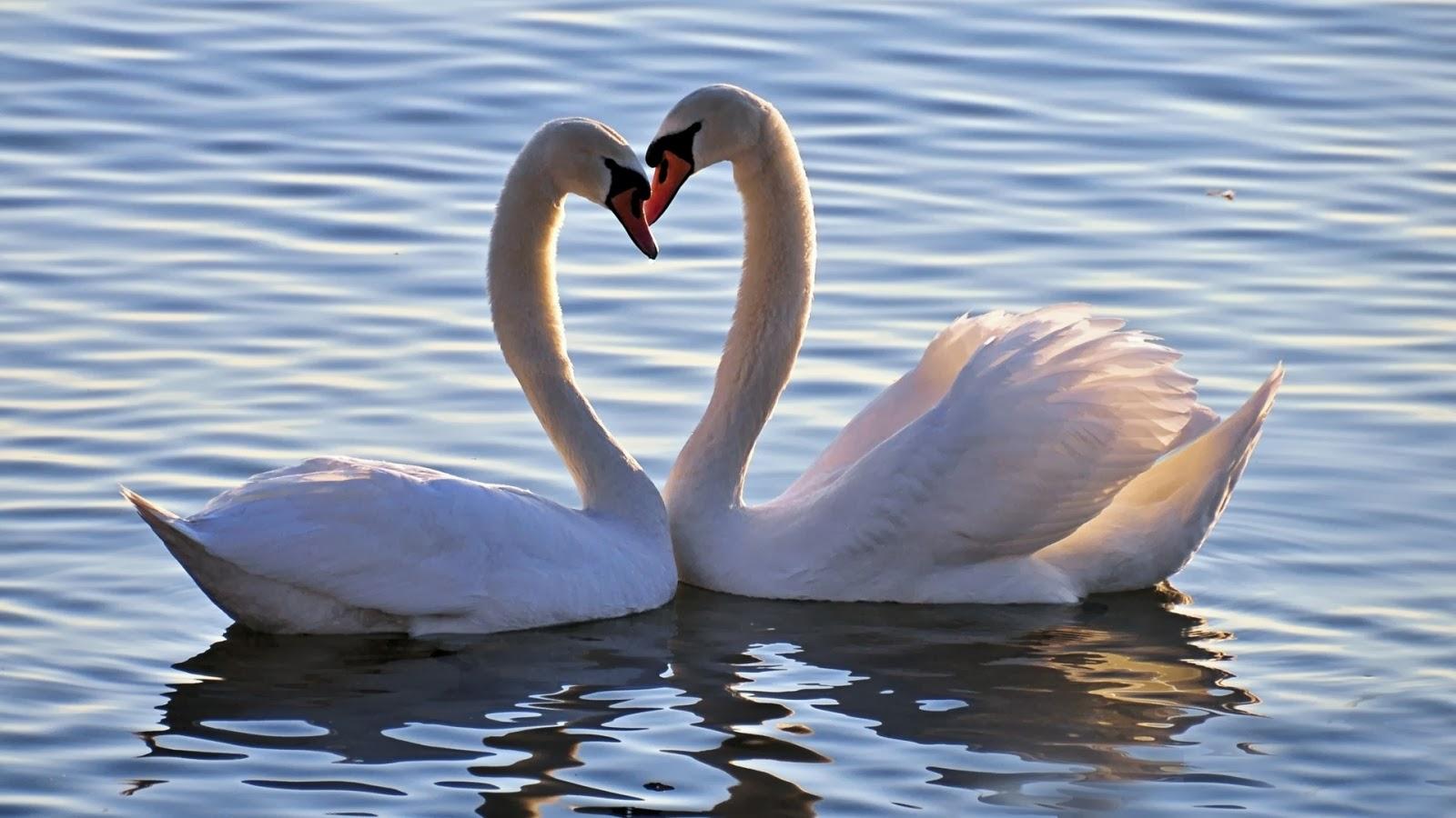 Cool photos swan love desktop wallpaper - Swan wallpapers for desktop ...