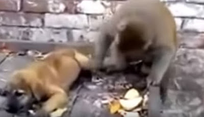 A video of a monkey persistently bullying a puppy has gone viral, drawing angry comments from viewers.  The monkey is seen getting physically rough with the puppy, which is sleeping peacefully on a push cart.  Though the brave puppy snaps back, the monkey is too physically strong to be  intimidated. It continues to annoy the puppy by pinching it or by pulling its tail or limbs.