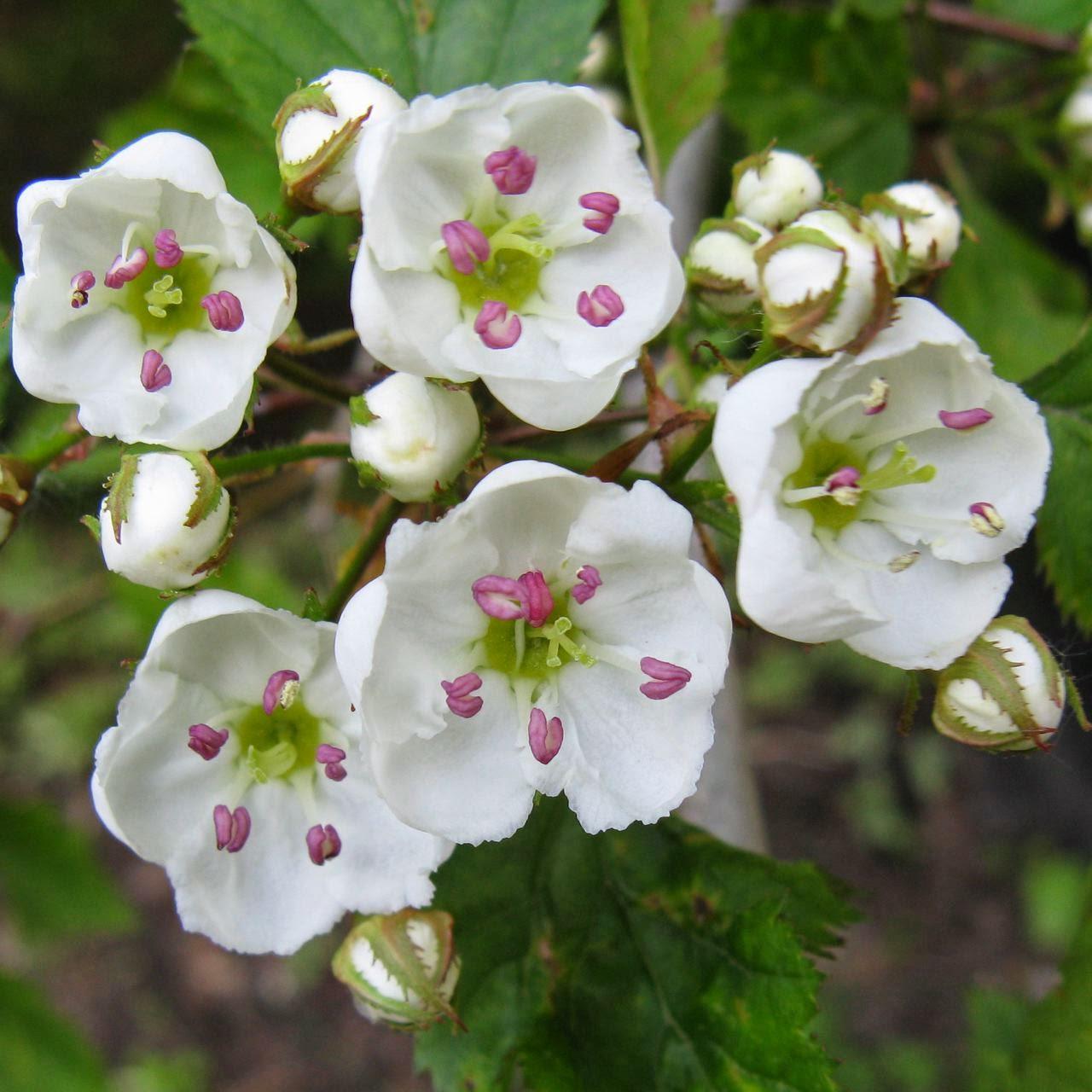 Moonflower Musings: The Spirit of Hawthorn: Healing the Heart