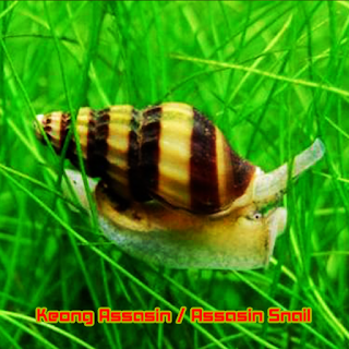 "Keong Hias Aquascape ""Keong Assasin"""
