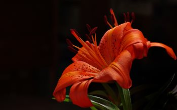 Wallpaper: Orange Garden Lilly