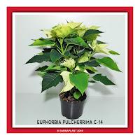 Poinssetia-Euphorbia-Pulcherrima-C14-Colores-01-2018