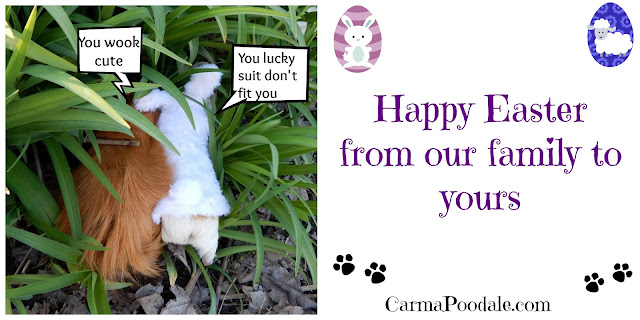 The #GuineaPigs go #Play. Happy #Easter- CarmaPoodale.com