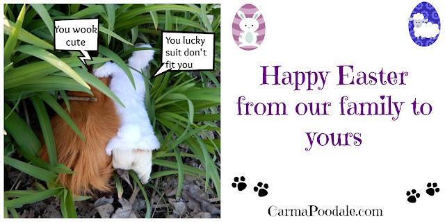 The #GuineaPigs go #Play. Happy #Easter- CarmaPoodale.com