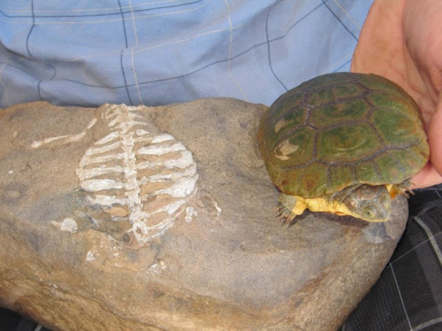 Researchers discover real reason why turtles have shells