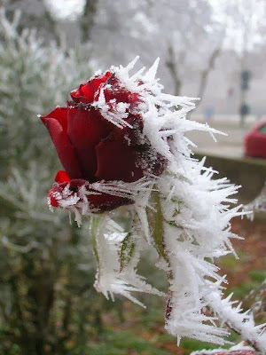 snowy red rose with ice