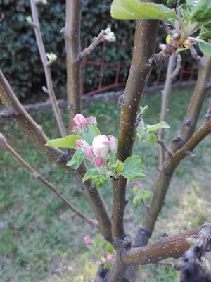 A marzo nell'orto il melo è fiorito.