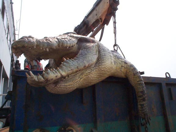 Here Are The Biggest Crocodiles Ever Recorded All Over The World!