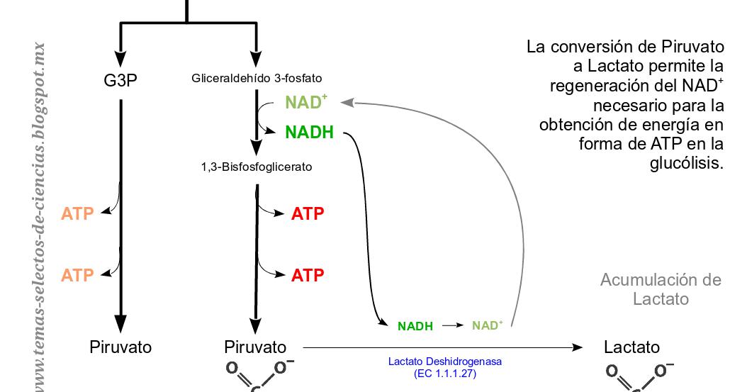 proceso catabolico de glucosa