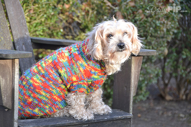 Ruby, the rescue dog is toasty warm in her red, blue, and yellow hand knit sweater
