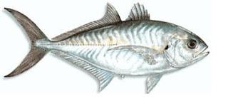 Ikan Tengkek (Laut)