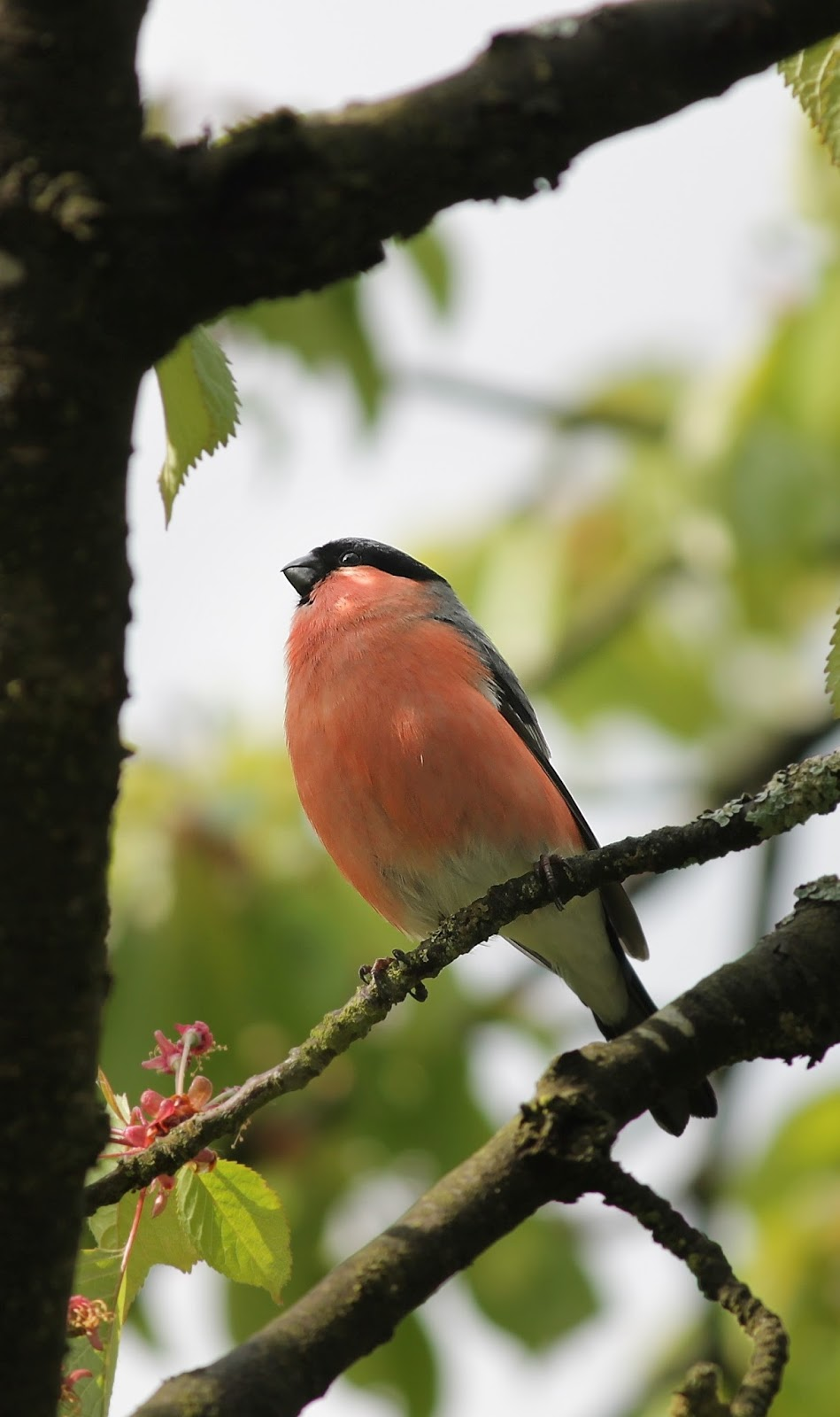 Wonderful picture of a bullfinch