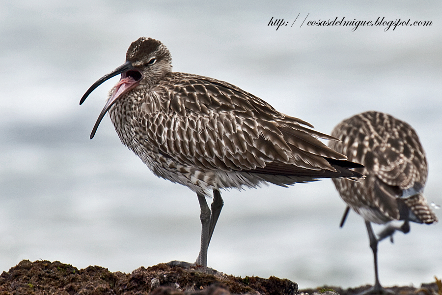 The Whimbrel