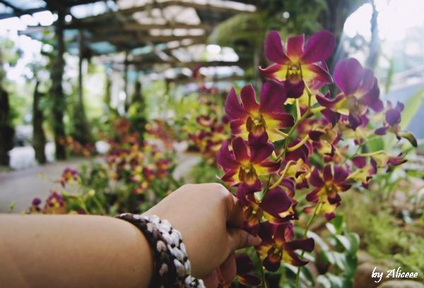 Gradina-cu-orhidee-Kuala-Lampur