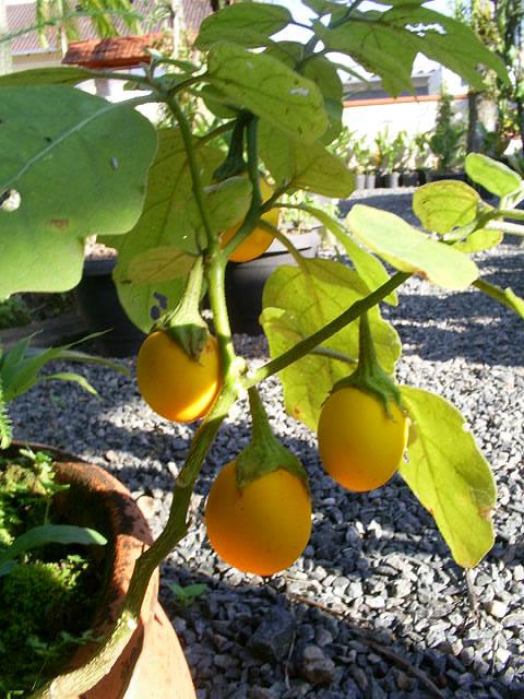Solanum ovigerum - Seu cultivo é bem fácil, podendo ficar em vasos ou plantadas diretamente no solo. É bem resistente. Tem preferência por locais onde pegue sol, mas não em demasia. Aprecia solos férteis e regas diárias.