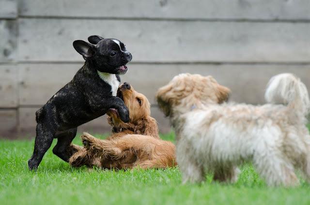 cães brincando na relva