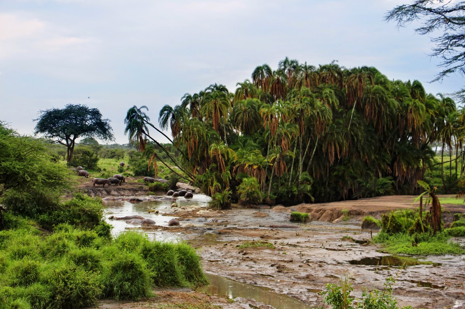 VER HIPOPÓTAMOS no Serengeti a tomar banho nas suas piscinas | Tanzânia