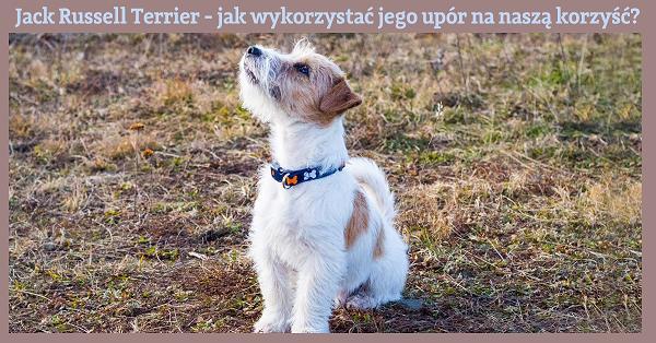 jack-russell-terrier-szkolenie-m.JPG