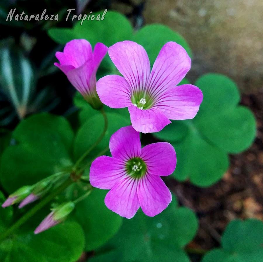 Flores de una planta del género Oxalis