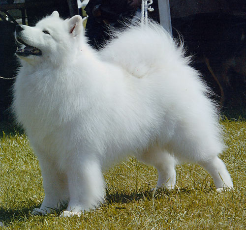 Big White Russian Dog