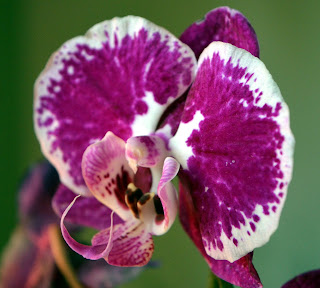 Phalaenopsis Orchid plant flowers