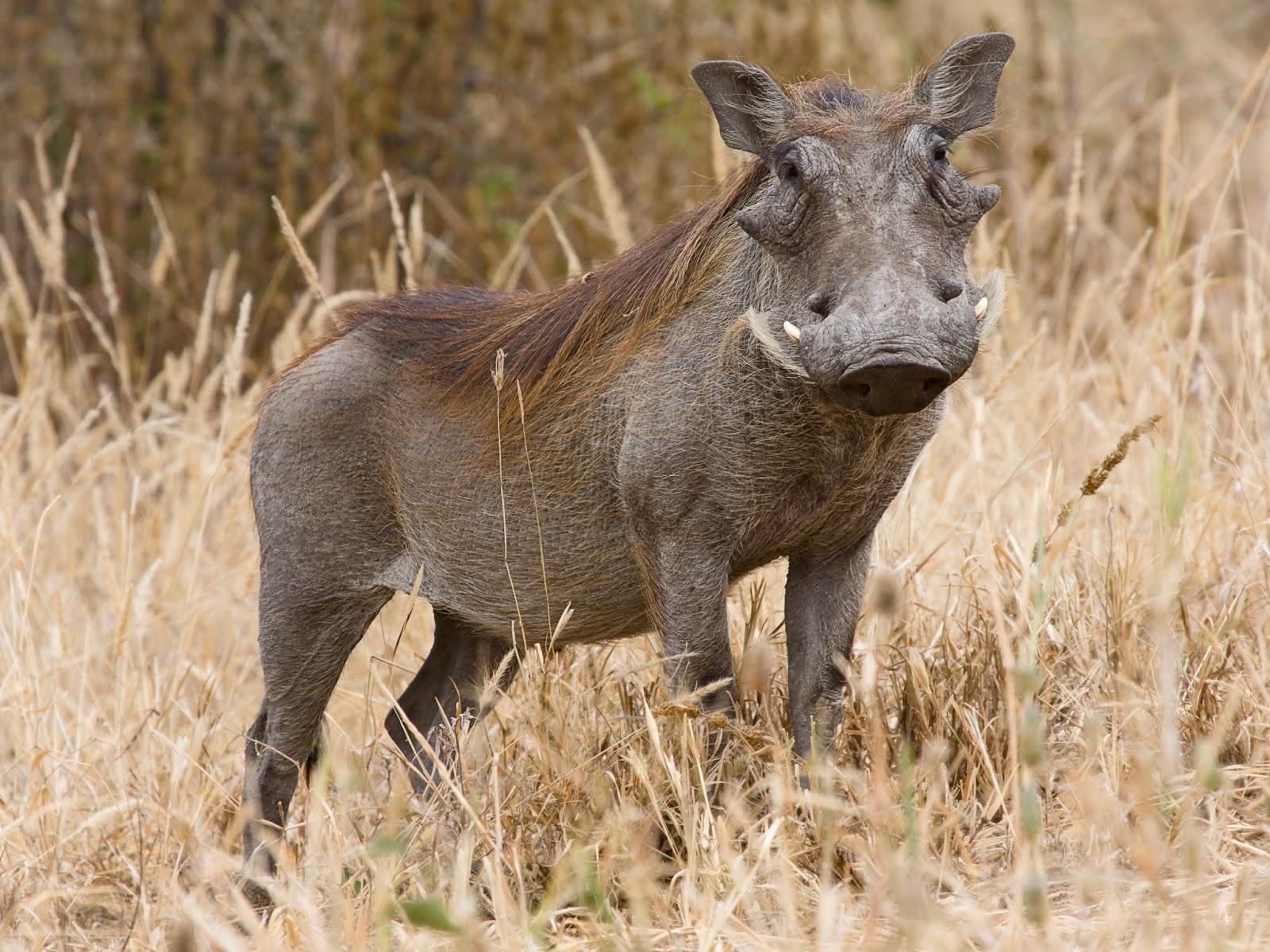 Mammals Animals: Tarangire Warzenschwein1