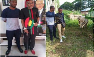 IPOB Supporters Donate Cow Named 'Buhari' to Nnamdi Kanu (Photo)