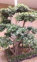 tempat jual bonsai di jakarta