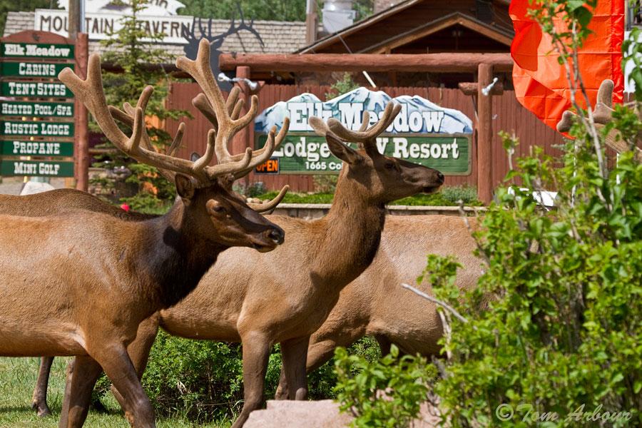 The Ohio Nature Blog: Elk- Estes Park Colorado and Nearby