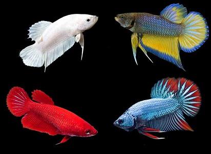 6700 Koleksi Gambar Ikan Cupang Betina Siap Kawin Gratis Terbaru