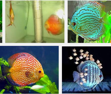 Harga Ikan Discus Termahal