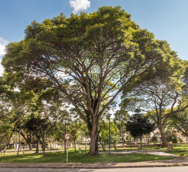Uma canafístula na Praça Villa Lobos
