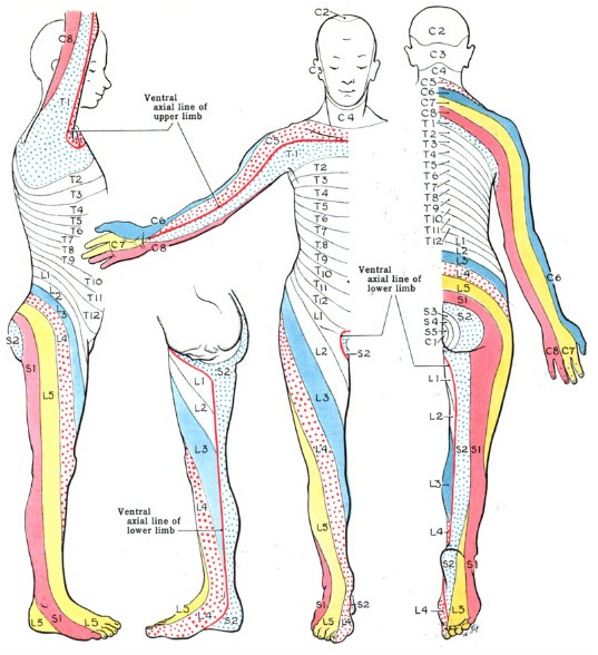 dermatome myotome: posisi anterior, posterior, lateral, medial