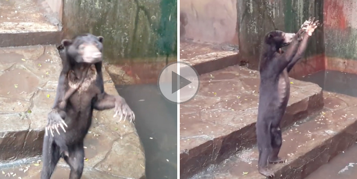 Video Showing Starving Bears At Zoo Begging For Food Sparks Outrage
