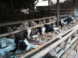 mempercepat pertumbuhan hewan ternak