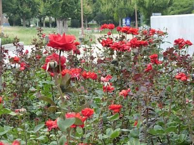 門真市・弁天池公園のバラ(レイククイーン)