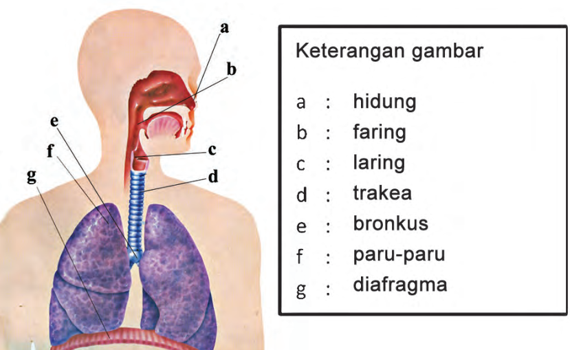 Sistem Pernafasan Pada Manusia Halaman 15 Belajar Kurikulum 2013