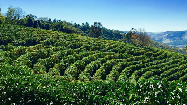 Cafeicultura brasileira tem faturamento de R$ 21 bilhões