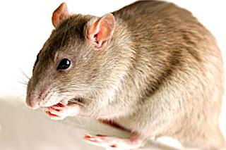 Снится крыса