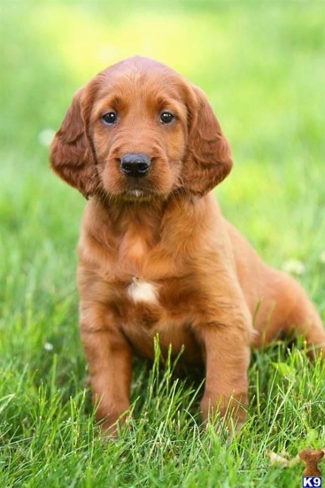 Irish Setter Puppies