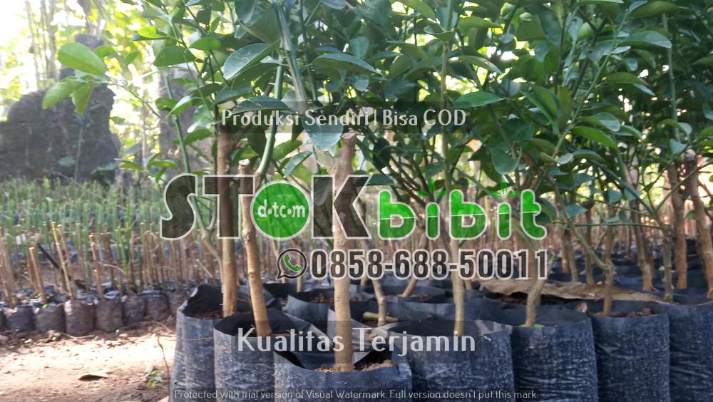 Ketapang Kencana | Pohon Peneduh Dan Pohon Hias    terjamin     terjamin