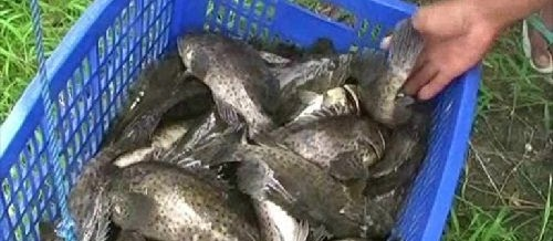 Masa Panen Ikan Kerapu dan Pasca Panen untuk Pemula yang Baik