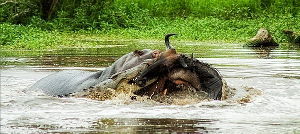 In an unexpected wildlife phenomenon hippo and crocodile team up to kill a wildebeest via geniushowto.blogspot.com wildlife encounter photos