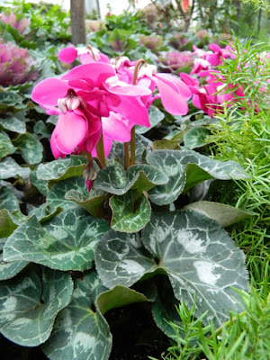 Allan Gardens Conservatory Christmas Flower Show 2015 pink cyclamen by garden muses-not another Toronto gardening blog
