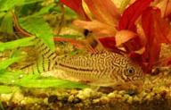 Jenis Ikan Corydoras trilineatus