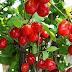 COARNELE, fructe benefice pentru INIMĂ, sistemul IMUNITAR și glandele ENDOCRINE (studii)