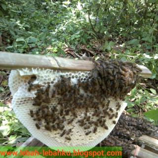 Jasa Pelatihan ternak lebah madu lokal